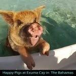 Bahamas-Pig-Island