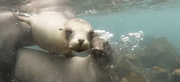 Sea Lions Video from Galapagos