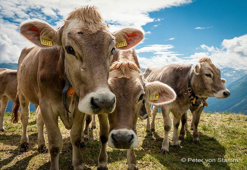 Kühe in Davos