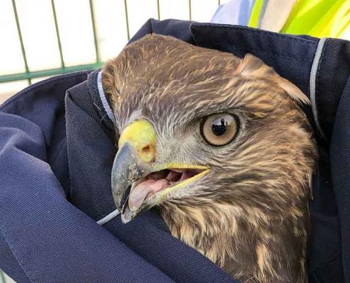 Police rescue Buzzard from motorway