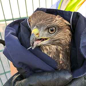So cute: Police rescue Buzzard from motorway