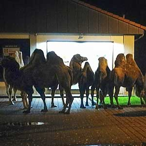 Camels in the dark – strange mission of the police in Germany