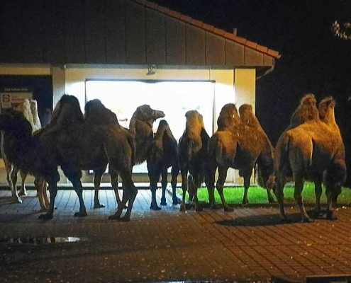 Camels in the dark