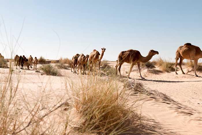 Dromedare in der Sahara in Tunesien