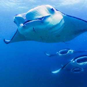 Mit Mantarochen schnorcheln - vor den Malediven ist es möglich